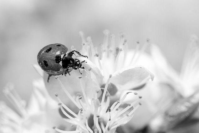 ladybug-4125852_640_kookay_pixabay